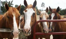 Cypress Trails houston-tx humble-horseback-riding-trail-ride-2